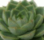 Echeveria-purpusorum-Green-Gilva_edited.