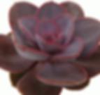 Echeveria-Red-Sky_edited.png