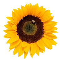 sunflower bee.png
