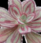 Echeveria-nodulosa_edited.png