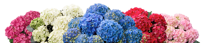 hydrangeatop.png