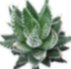 Haworthia-coarctata_edited.png