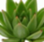 Echeveria-agvoides-Miranda_edited.png