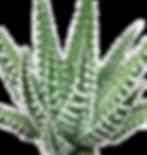 Haworthia-Big-Band2_edited.png