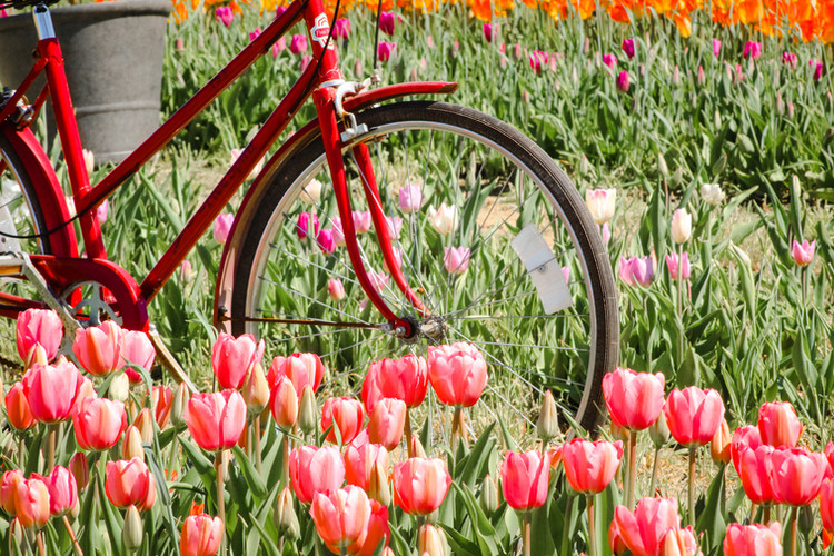 Tulip Festival 2020