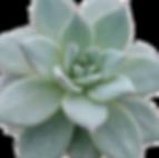Echeveria-Blue-Bird_0_edited.png