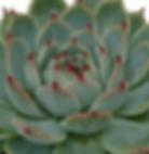 Echeveria-parva_edited.png