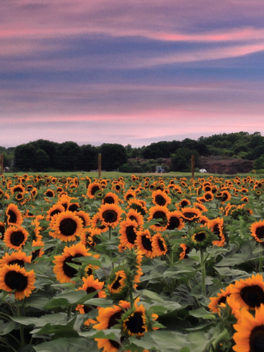 Sunflowers at Waterdrinker