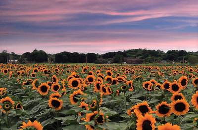 SunflowerFestival@nicsphotography.png