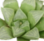 Haworthia-retusa_edited.png