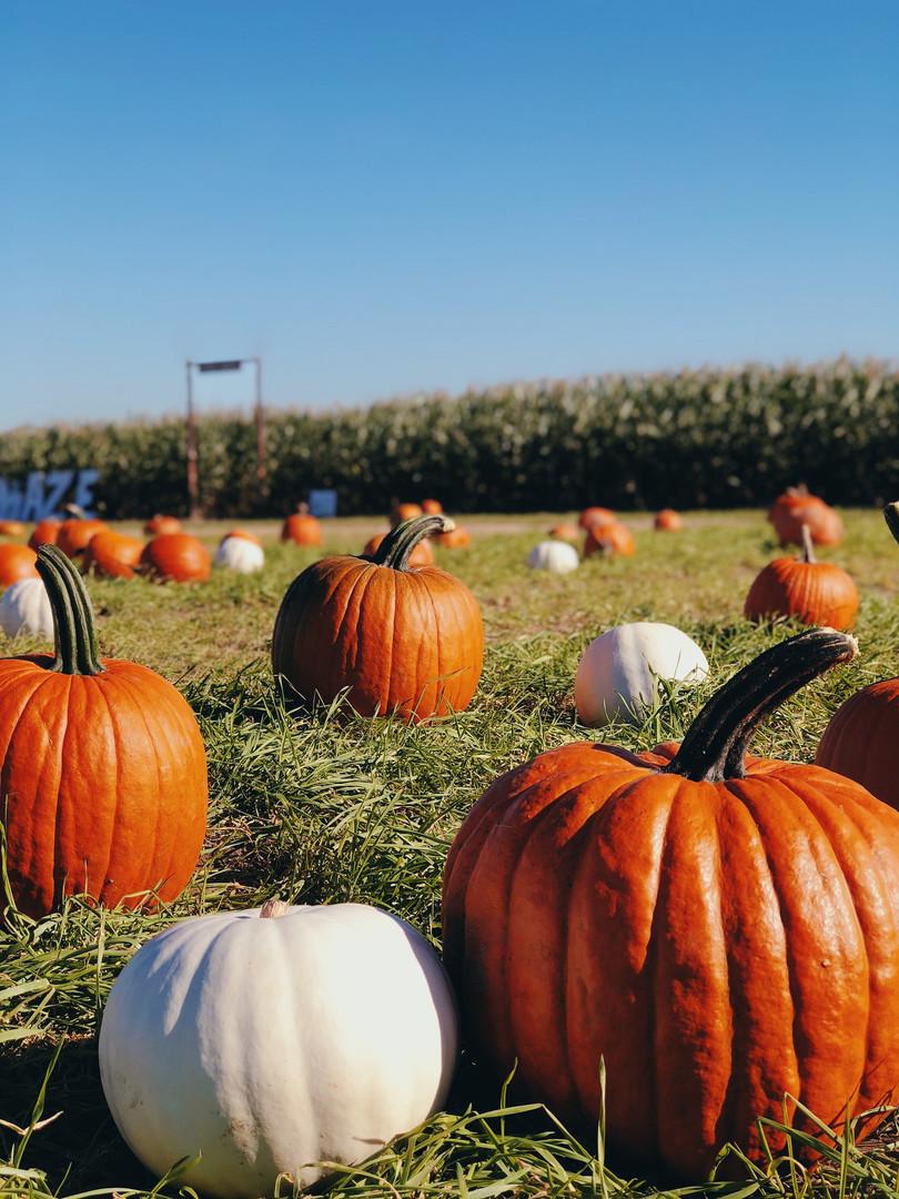 U-Pick Pumpkins