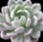 Echeveria-scheideckeri_edited.png