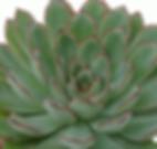 Echeveria-pelusida_edited.png