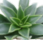 Echeveria-mexicana-1_edited.png