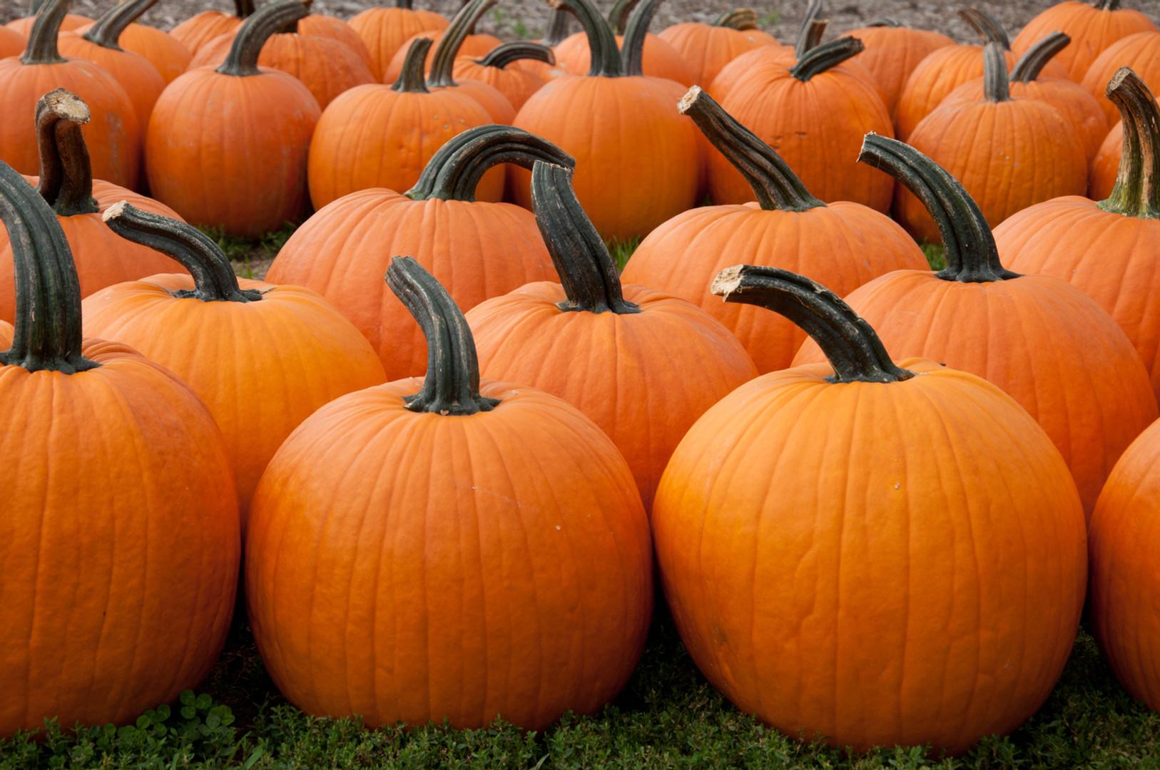 U- Pick Pumpkins