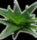 Haworthia-west-jogo1_edited.png
