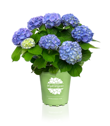 Beautiful Hydrangea Brestenburg.png