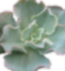 Echeveria-Giant-Blue-1_edited.png