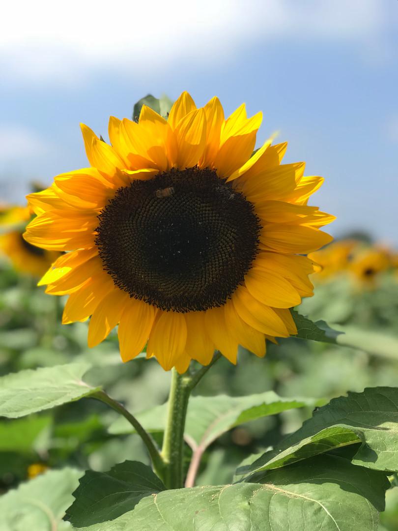 Sunflower Festival