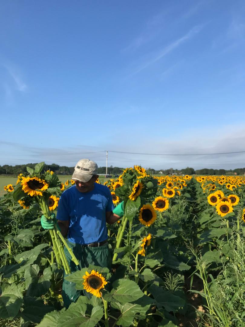 Sunflowers at Waterdrinker