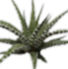 Haworthia-Super-Big-Band_edited.png
