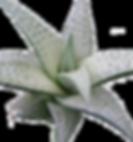Haworthia-tesselata1_edited.png