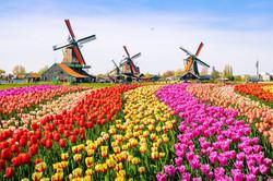 Netherlands tulips windmillsRF.jpg