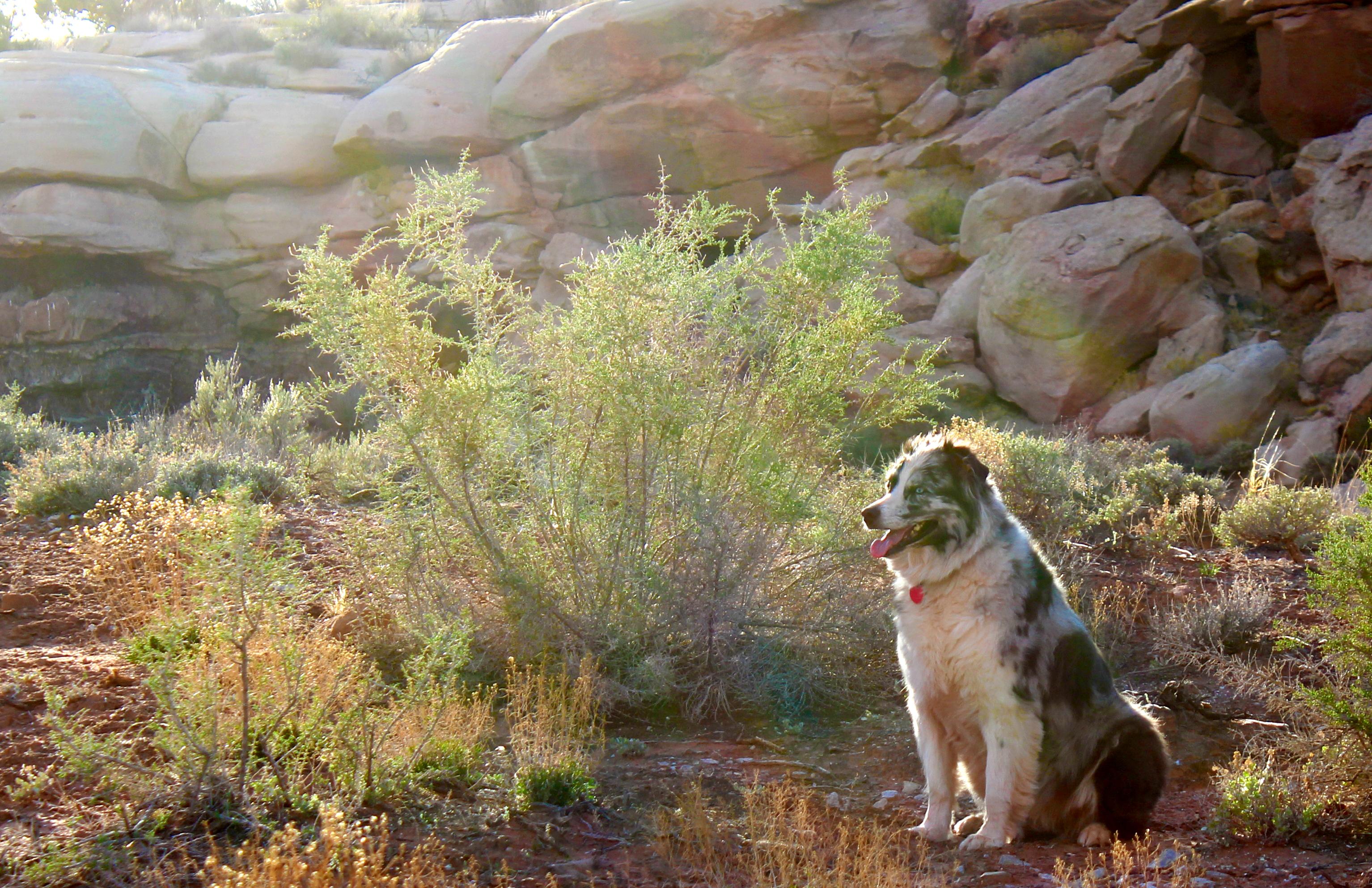 desert_dog