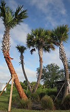 sabal-palmetto-prop_edited.jpg