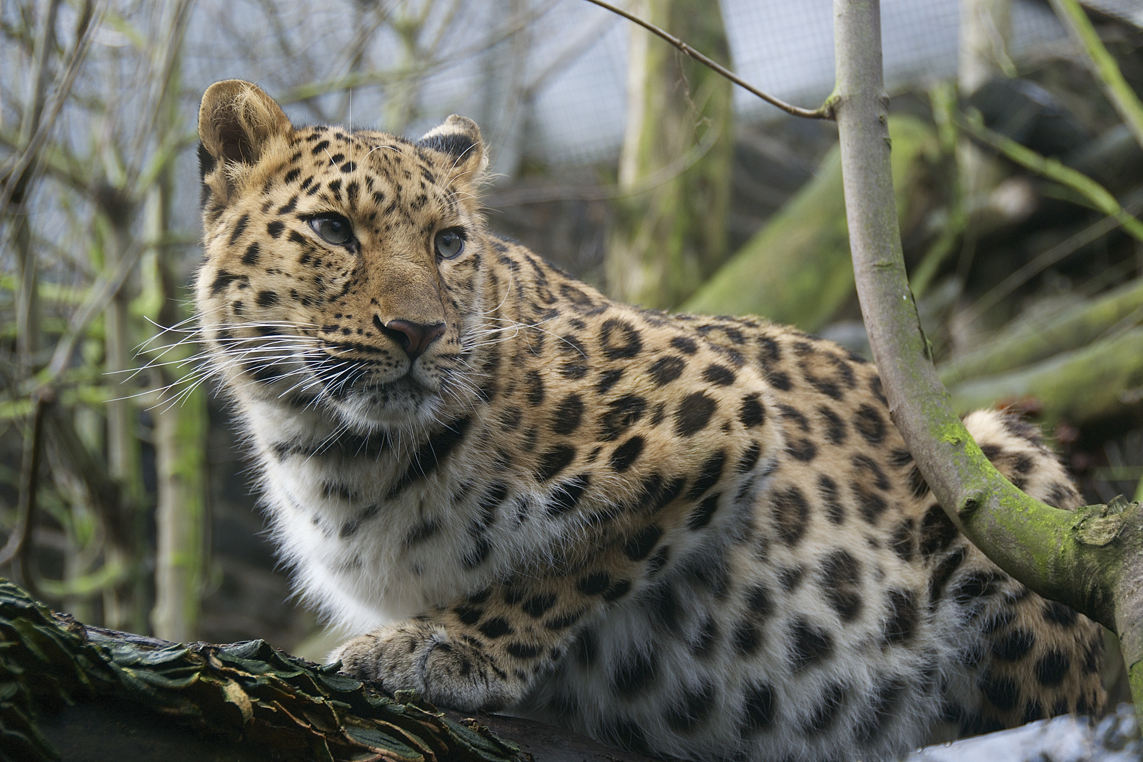Amur Leopard - Edinburgh Zoo