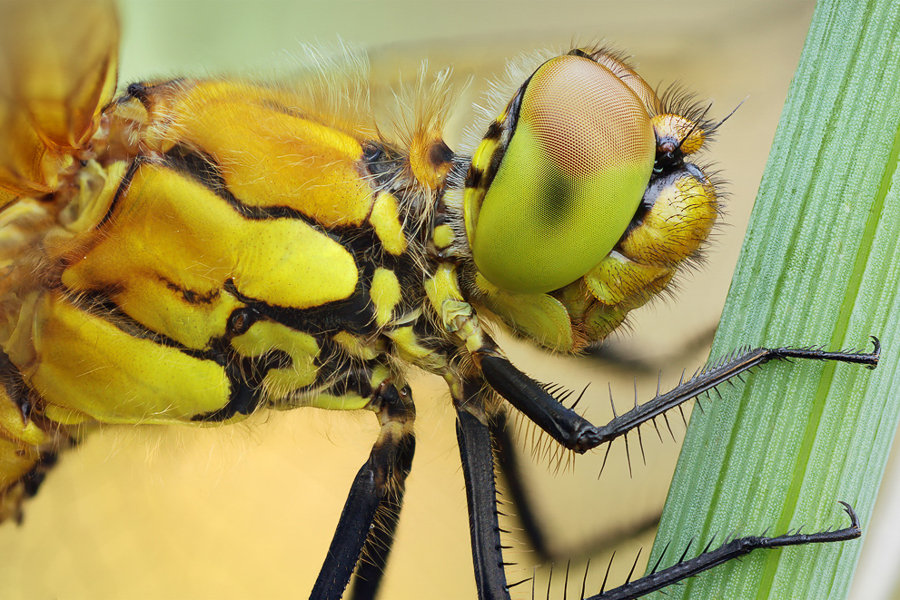 Portrait einer Libelle und Facettenaugen