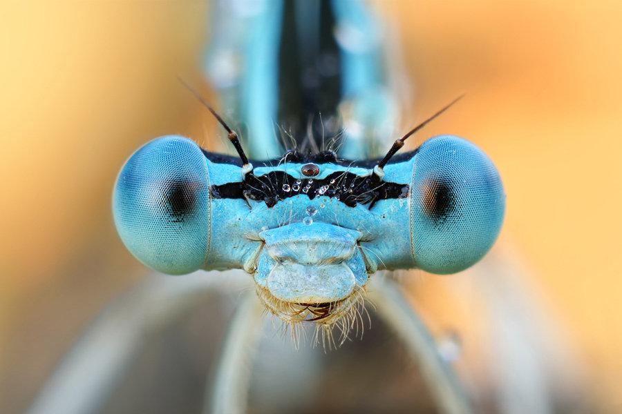 Portrait eines Insekts, Libelle, Facettenaugen
