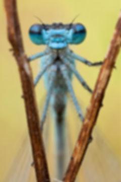 Portrait einer blauen Libelle