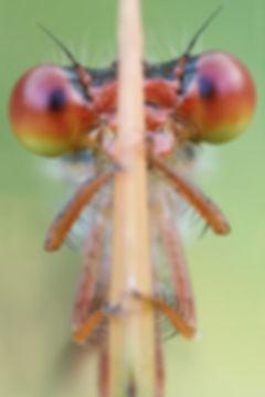 Portrait einer roten Libelle