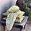 Thumbnail: Nichola Taylorson NEELA Mustard Green