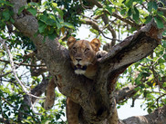 Tree climbing lions in Ishasha National Park