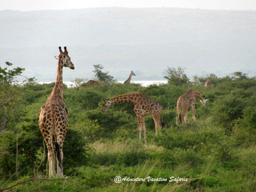 Giraffes in the National Park