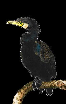 cormoran dessin_edited.png