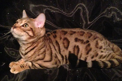 exotic brown spotted male bengal cat with wild markings and rosettes
