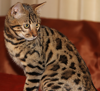 exotic Glittered spotted male bengal cat with a wild look and rosettes