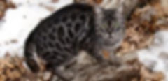 exotic Silver spotted charcoal female bengal cat with large rosettes