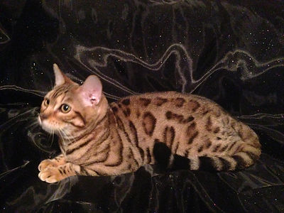 exotic beautiful marbled female bengal cat with glitter