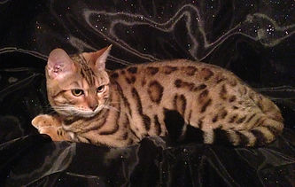 exotic beutiful marbled female bengal cat with glitter