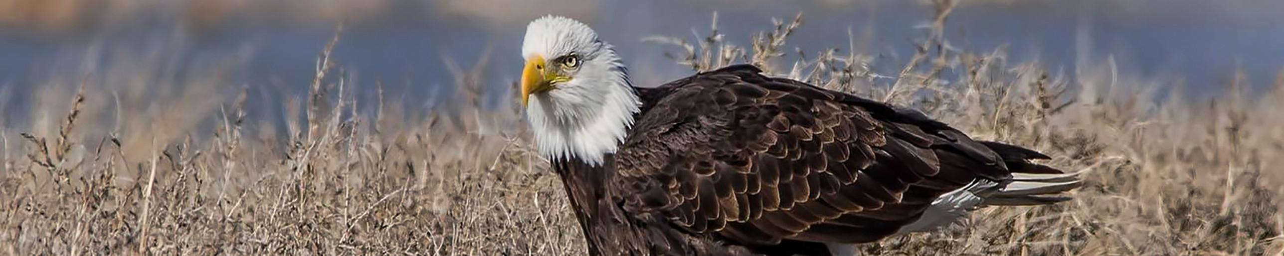 walking eagle2.jpg