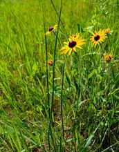 South Dakota flower.JPG
