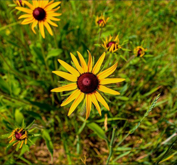 South Dakota flower 2.JPG