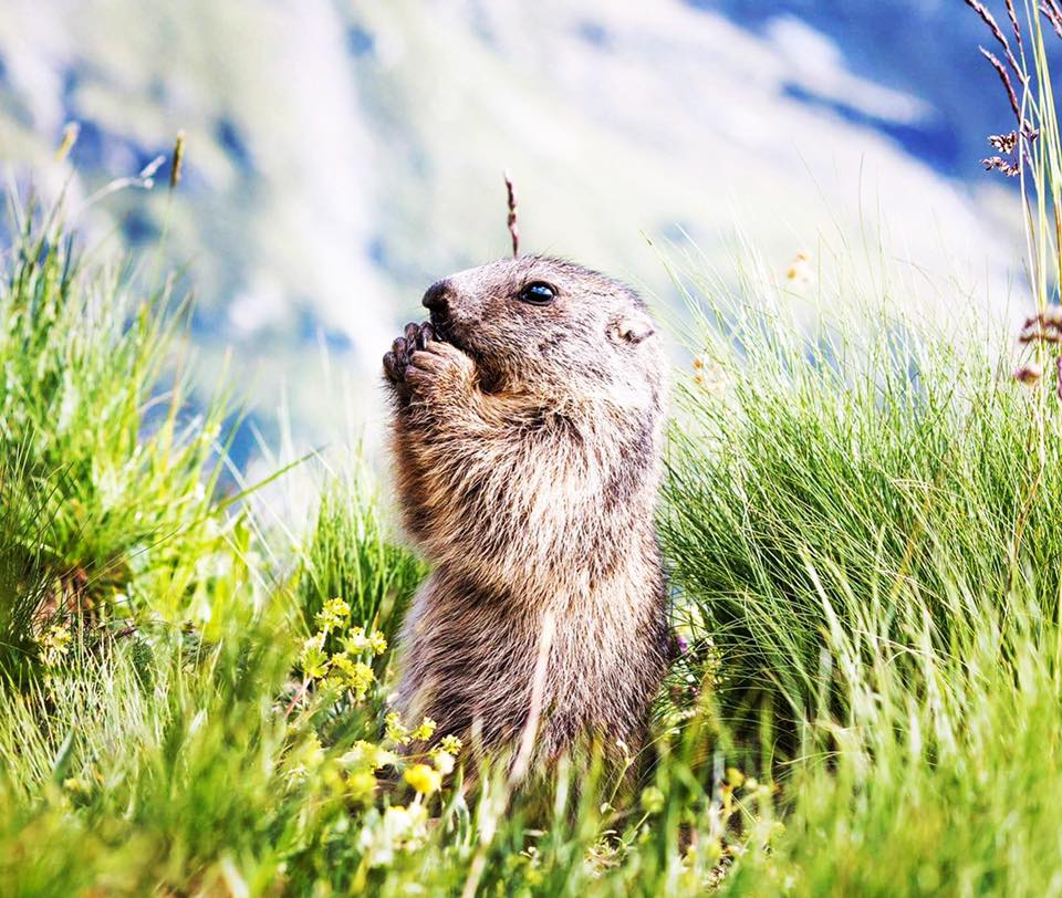 marmote bessans