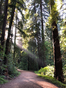 Henry Cowell Redwoods State Park, The Garden of Eden (2019)
