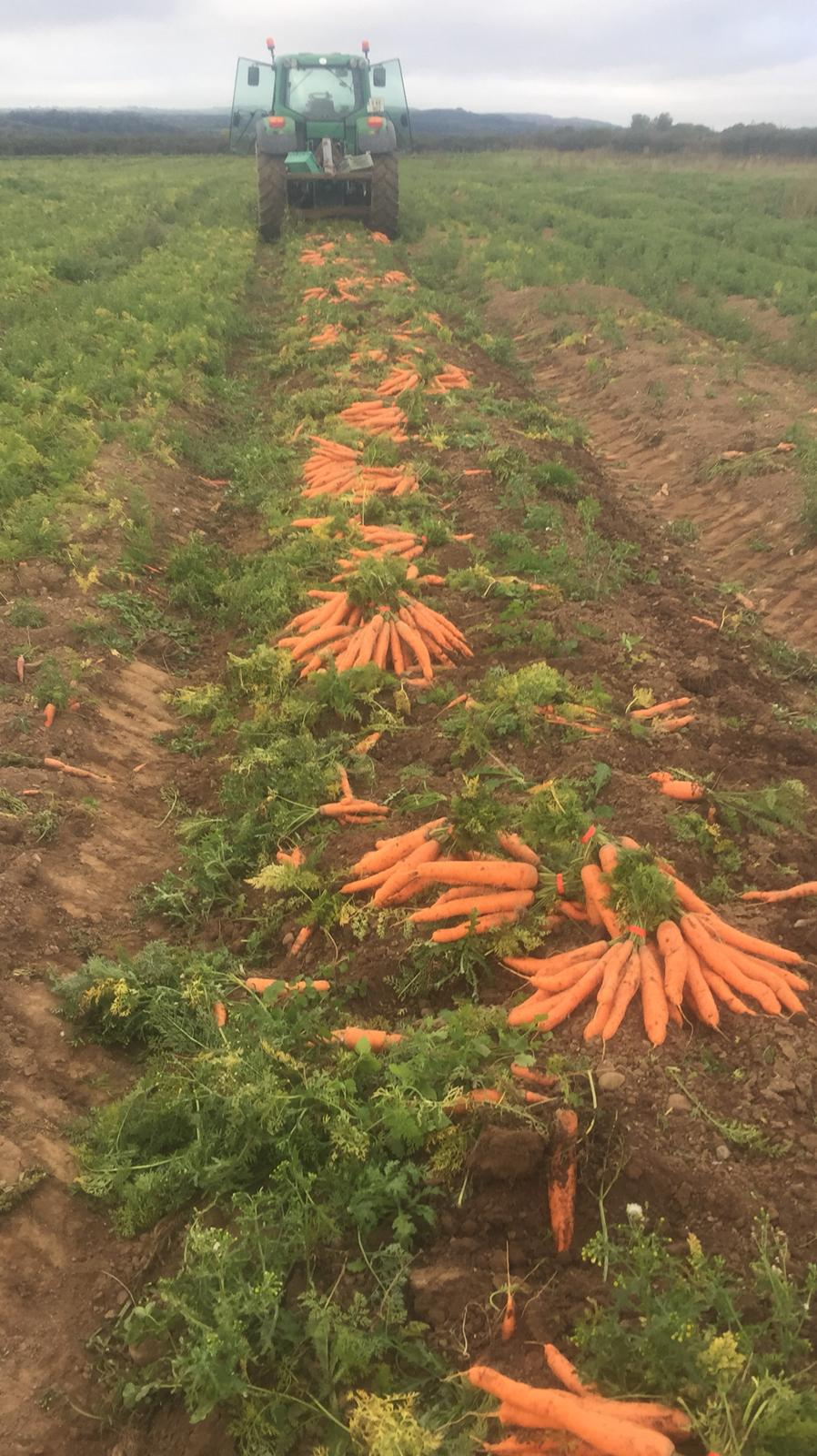 Fresh Irish Carrots
