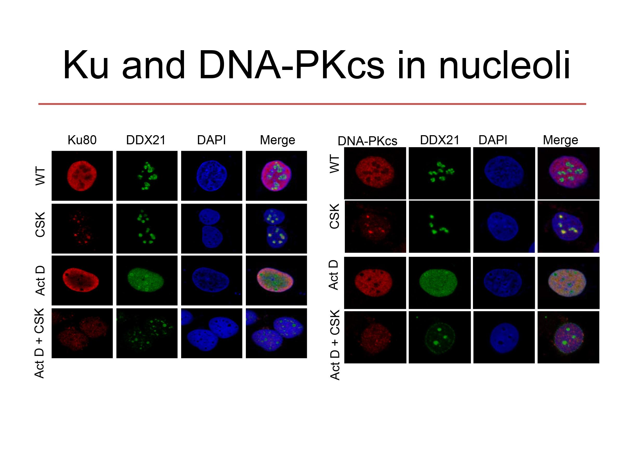 KU-PK in nucleoli